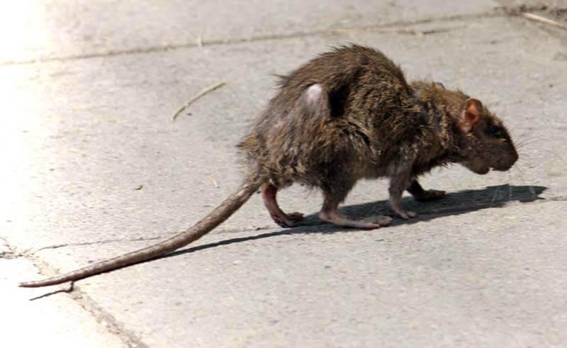 Chiêm bao thấy chuột cống