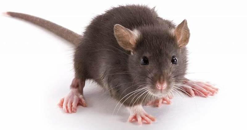 Chiêm bao thấy một con chuột