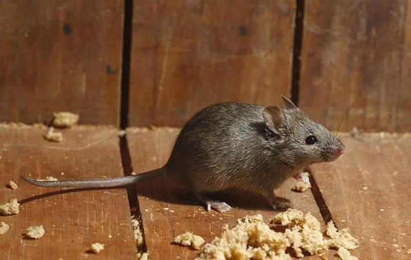 Mơ thấy con chuột nhắt