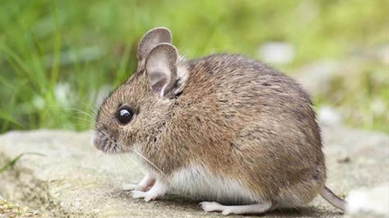 Mơ thấy chuột mang điềm gì